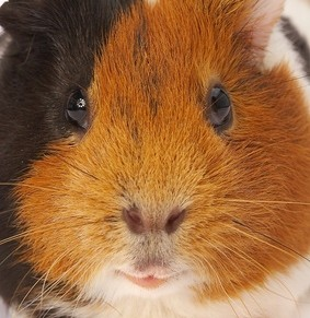 Do you need advise on how to keep a guinea pig? Just come in and ask us!