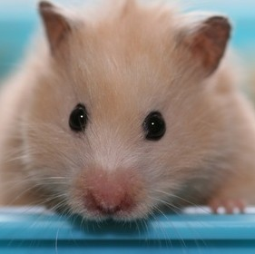A hamster is a welcome patient at All Pets Vet Care veterinary surgery